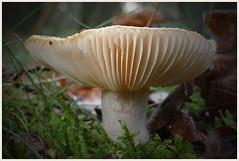 Shroom ... (Jan Gee) Tags: mushroom shroom paddestoel paddenstoel pilz champignon fungus fall herfst herbst autumn automne