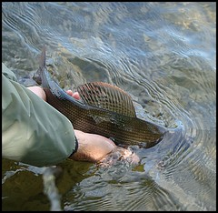 So long! (beneathwoe) Tags: grayling fish flyfishing water river nature