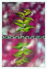 reflection-and-bokeh (verenaredfoxgredler) Tags: flower blume plant pflanze reflection reflektion reflexion nature natur abstract abstrakt macro makro bokeh