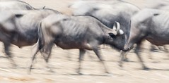 cape buffalo on the move - EXPLORE (charlesgyoung) Tags: charlesyoung africa zambia southluangwanationalpark kaingocamp karineaignerphotographyexpedition essentialafrica safari wildlifephotography nikon nikonphotography nikondx d500 200500 capebuffalo