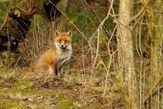 Urban red fox Autumn field 2017 (1) (Simon Dell Photography) Tags: red fox vulpes animal nature wild wildlife yorkshire sheffield uk shirebrook valley hackenthorpe sheff s12 s13 simon dell photography dec 2017 wintaer autumn fall colors seasonal christmas time pose sitting looking me eyes detail close up
