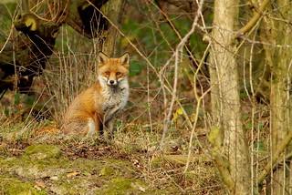 Urban red fox Autumn field 2017 (1)