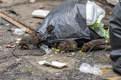 825627866 (Lantra Media Office) Tags: america black damp dingy dross fetid filthy grey grubby health mammals mice moist mousy nasty noisome polluted refuse scary scruffy smelly sordid traps trash unclean unsanitary waste wastrel world thailand tha