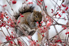 My other best friend... (Normand Lafrenière) Tags: squirrel écureuil animal red rouge wood bois sigma150600mm domainemaizeret nature nourriture nikond7200 food quebeccity québec cute joli mignon park parc leaf maple wildlife tree