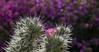 Cactus Bloom / hbw! (Rainer Fritz) Tags: mallorca natur botanicactus