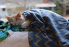Who says you can't mix plaids? (rootcrop54) Tags: otis orange ginger dilute tabby male masked blankie blankets fleece warm soft peaceful neko macska kedi 猫 kočka kissa γάτα köttur kucing gatto 고양이 kaķis katė katt katze katzen kot кошка mačka gatos maček kitteh chat ネコ mellow napping catnap serene cc100 cc700