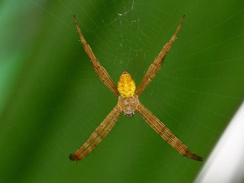 Argiope keyserlingi