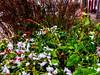 Snow and flowers. (ost_jean) Tags: snow flowers rain apple iphone 7 plus back dual camera 399mm f18 ostjean