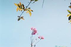 (Hsien hui Tsai) Tags: taiwan tainan film nikon nikonem em rossmannfilm rossmann200 rossmann plant sky 粉紅風鈴木 pink 2017
