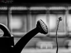 """_ZA11232b (zalo_astur) Tags: amor desamor fotografíacreativa imaginacion regadera flor girasol invierno regar nikond700 desenfoque bokeh tristeza sentimientos creativo petalos seco sequedad """"nikonflickraward"""""""