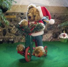 Christmas Teddy on Bike (Ray Duffill) Tags: christmas trees preston festival allsaintschurch eastyorkshire holderness