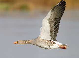 GREYLAG....Slimbridge....Best on large.