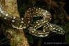 Diamond Python (Morelia s. spilota) (Jules Farquhar.) Tags: diamondpython moreliaspilotaspilota moreliaspilota python pythonidae snake reptile squamata herpetofauna australianreptiles rainforest nsw midnorthcoast julesfarquhar