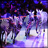 Dancing zebras (James Mundie) Tags: jamesmundie jamesgmundie profjasmundie jimmundie mundie copyright©jamesgmundieallrightsreserved copyrightprotected universoulcircus circus cirque westfairmountpark philadelphiapa liveperformance centerring bigtop performinganimals circusanimals camels zebras trainedanimals