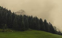Diagonal (Netsrak) Tags: alpen baum europa landschaft natur nebel trettachtal wald fog mist schaf schafe