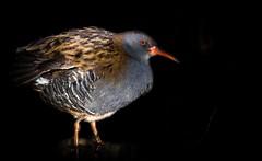 Water Rail. (Jez Nunn) Tags: waterrailbirdswildlifenature