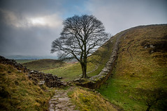 Sycamore gap (ola_er) Tags: sycamore gap december moody weather tree hadrianswall nikon d750 landscape