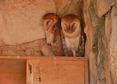 Barn Owl (Travis S.) Tags: mexico merida parquezoológicodelcentenario zoologicalparkofcentenario zoo barnowl tytoalba owl buho