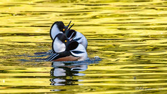 Hooded Merganser (m) (Bob Gunderson) Tags: birds california divingducks ducks goldengatepark hoodedmerganser lloydlake lophodytescucullatus mergansers northerncalifornia sanfrancisco