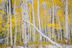 Fall aspens (bumeister1) Tags: lasalloop lasalmountains utahtrip2017 warnerlake aspens utah nikon landscape fall autumn