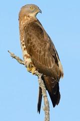 Falco pecchiaiolo-Honey-buzzard. (Riccardo Bocconi.) Tags: