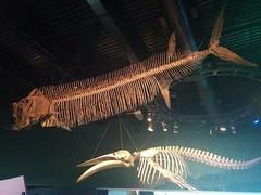 Fossils above (2) #toronto #ripleysaquarium #aquarium #ticket #fossil #fish #latergram (randyfmcdonald) Tags: fish ripleysaquarium fossil latergram ticket aquarium toronto
