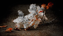 Tree leaves ,, (Julie Greg) Tags: leafs nature autumn tree canon texture