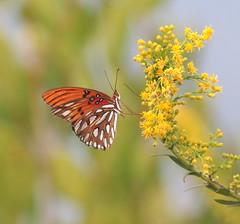 Gulf Fritillary Butterfly (explored 11/9/17) (vischerferry) Tags: gulffritillary merrittisland florida yellowwildflower agraulisvanillae bokeh fritillary insect