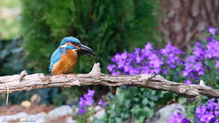 Martin-pêcheur d'Europe - Alcedo atthis - Common Kingfisher (Bruno Chambrelent) Tags: martinpêcheur deurope alcedo atthis common kingfisher