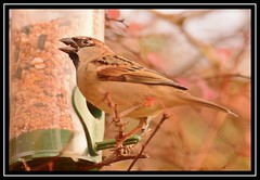 """It's Certainly Gastronomical Grub Here At 'Christopher Robin's Feathered Friend Cafe'...!!!"" (NikonShutterBug1) Tags: nikond7100 tamron70300mm birds ornithology wildlife nature spe smartphotoeditor birdfeedingstation bokeh birdsfeeding sparrow"