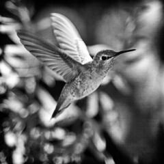 i saw a hummingbird (1crzqbn) Tags: bnw bokeh hummingbird mono sliderssunday 1crzqbn