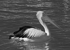 18698796134_8b831271db_o-bw (Merrillie) Tags: pelican black white monochrome bird birds animal animals wildlife fauna australia woywoy centralcoast newsouthwales