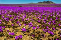Desert flower power (@abriendomundo) Tags: desiertoflorido desiertodeatacama atacamadesert atacama colors colores canoneos5dmarkiv copiapo vallenar flowers flowercarpet flores flora florachilena