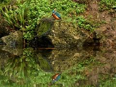 Kingfisher on the Bishops Palace moat. (paulnicholls3) Tags: reflection bishopspalace somerset wells kingfisher