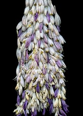 58626.01 Hosta (horticultural art) Tags: horticulturalart hosta flowers goneby
