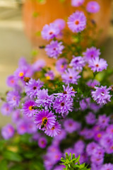 Asters (Raoul Pop) Tags: garden autumn flowers purple asters mimicry pollen home insect fly medias transilvania romania ro