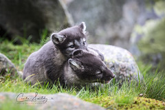 Fighting silblings (CecilieSonstebyPhotography) Tags: arctic bokeh moss fox endangered closeup alopexlagopus fighting canon 7weeksold male animal norway female markiii whitefox siblings playing langedrag foxcubs canon5dmarkiii snowfox adorable animals rock grass foxcub polarfox specanimal