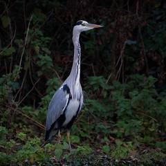 Humphrey the Heron! (stellagrimsdale) Tags: heron humphrey fowl waterfowl nazeing river riverside bird neck eyes beak grass weeds green grey greyheron elegant