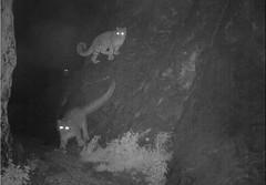 Snow Leopard Camera Trap Loop (JKIESECKER) Tags: snowleopards mongolia cameratraps nighttime