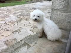 Naïs, 4 mois, 4 kg (Annelise LE BIAN) Tags: chien animal naïs alittlebeauty coth coth5 bichonfrisé
