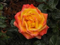 Rose District (clarkcg photography) Tags: rose rosedistrict color orange peach pink december1st bloom flower saturatedsaturday reddish sunshinesunday