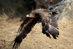 _I5U9954 (carlo612001) Tags: eagle mountain aquila montagna birds bird uccello uccelli animals animali natura nature wings ali rapaci raptors