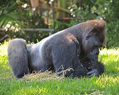 Okay....I Know Your'e There Somewhere (ACEZandEIGHTZ) Tags: western lowland nikon d3200 miami zoo zoomiami dadecounty simian ape