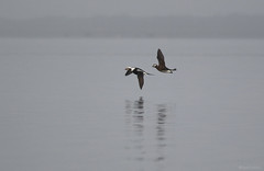 Long-tailed Duck - 094A3609a1c (Sue Coastal Observer) Tags: longtailedduck ltdu clangulahyemalis blackiespit surrey bc britishcolumbia canada fog flight pair