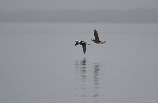Long-tailed Duck - 094A3609a1c