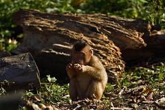 Schweinsaffe (Michael Döring) Tags: gelsenkirchen bismarck zoomerlebnsiwelt zoo goldeneroktober schweinsaffe makake afs200500mm56e d7200 michaeladöring