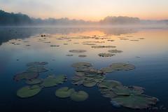 Water plants (mirosławkról) Tags: poland silesia pond sunrise water sky mist orange orangeandblue tree plant