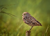 Far and Away (Kathy Macpherson Baca) Tags: earth planet world aves wildlife nature animal animals bird birds owl burrowing florida raptor feathers predator