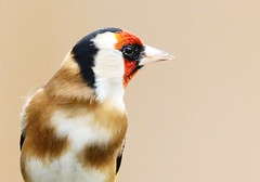 GOLDFINCH (merseymouse) Tags: goldfinch birds wildlife nature finch