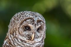 Barred Owl (Warp Factor) Tags: canont4i summer2017 vacation wilderness wildlife tamron150600mm owl barredowl bird sanctuary northislandwildliferecoverycentre erringtonbc vancouverislandcanont4isummer2017vacationwildernesswildlife